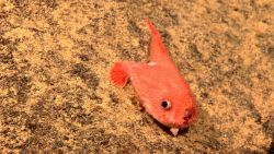 An orange toadfish - Chaunax sp. Photo