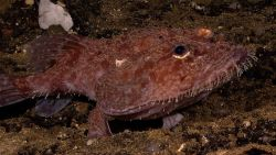 A deep sea anglerfish aka monkfish, a member of the Lophiidae family - Lophiodes sp. Photo