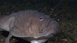 A deep sea anglerfish aka goosefish, a member of the Lophiidae family - Sladenia remiger Photo