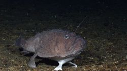 A deep sea anglerfish aka goosefish, a member of the Lophiidae family - Sladenia remiger Image