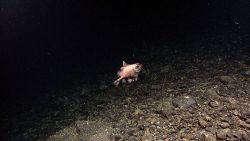 A boarfish Image