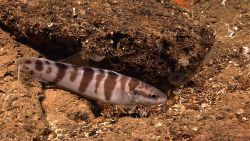 A brown and white barred fish resting near a local high point - that being a small rock or clay outcrop. Image