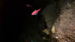 Alfonsino (Beryx splendens)swimming near a vertical cliff face with small yellow corals and stalked crinoids Photo