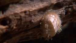 A white chiton on a rotting log. Image