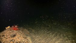 A red feather star crinoid on a high spot next to a seeming rippled channel bottom indicating high currents in this area. Image