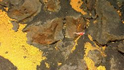 A pinkish red shrimp swims over rock with hydrothermal alteration as well as a carpet of yellow balls of native sulfur to left and bottom right Image