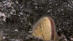 A clam semi-immersed in the sediment in the vicinity of hydrothermal venting activity and covered with hair-like strands of bacterial material. Image