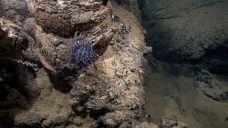 A purple anemone, a reddish holothurian ( to left and below anemone), and a small white coral on a pillow lava Image