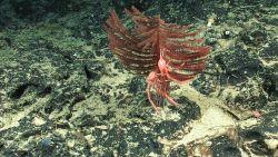 Antipatharian coral (