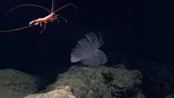 A large red shrimp swimming over a large black coral bush. Image