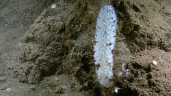 A white sponge growing from a a somewhat jumbled appearing sediment pile. Image