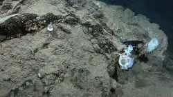 A variety of sponges and a large brittle star growing on sediment covered rock. Image