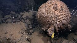 A yellow sponge and small white corals growing from a spherical pillow lava Image
