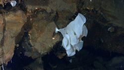 A large white sponge and a smaller conical white sponge growing from a hydrothermally altered rock outcrop. Image