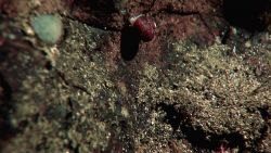 A small red-shelled gastropod crawling on a rock face. Image