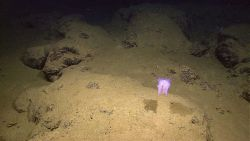 Purplish white holothurian swimming above a mud and rock outcrop bottom Photo
