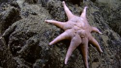A large orange and white eight-legged starfish on a rock outcrop Image