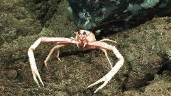 Galatheid crab on rock outcrop Photo