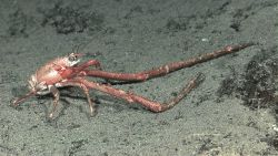 Galatheid squat lobster with extremely enlarged pereiopods Photo