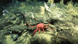 A large crab and small corals on a rock outcrop Image