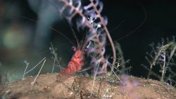 Small colorful shrimp next to octocoral colonies Photo