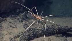 A sea spider Pycnogonid crab Image