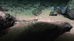 A reddish crab on the left of the image, white and pinkish translucent anemones in the center of the image, and a relatively large bluish deep sea fis Image
