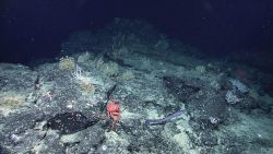 A large crab and fairly long eel-like fish in a rock environment with numerous small coral bushes Image