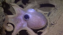 Closeup of octopus in space between two large rocks Photo