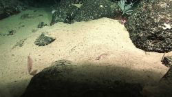 A sea pen coral, a tongue fish on a sandy bottom, reddish squat lobsters, and a small white coral wtih black rock outcrops. Image