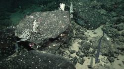 A large eel, small white corals, a white sea urchin, small brittle stars, and other biota in a field of black boulders. Image