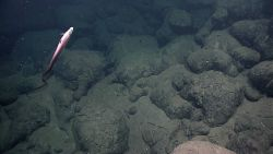 An eel-like fish over pillow lavas. Image