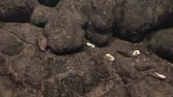 A clam shell and mussel shells in association with pillow lavas. Image