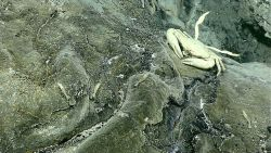 A Brachyuran crab rests on rock near a site of diffused venting Image