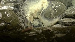 A pinkish fish and a blind Brachyuran crab seen near a site of diffused venting. Image