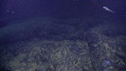 An eel pout over a relatively smooth lava bottom in the vicinity of hydrothermal venting as the water is murky and filled debris, perhaps chemical pre Image