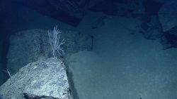 A small bamboo coral in an area of broken sheet flows and heavy sand sedimentation. Image