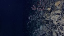 A vertical wall with bamboo corals, a red gorgonian coral, small bluish-gray sponges, and two odd white creature in the bottom center that might be ho Image