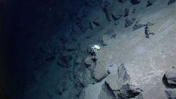 White squat lobster on a near vertical rock outcrop Photo