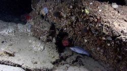 Deep sea fish - spiny scorpionfish or Atlantic thornyhead peering out from hole through tubeworms with the morid cod Laemonema sp Photo