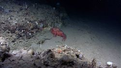 Deep sea fish - spiny scorpionfish or Atlantic thornyhead (Trachyscorpia cristulata cristulata) Photo