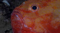 Deep sea fish - closeup of an orange gaper (Chaunax sp.) Photo