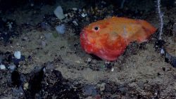 Deep sea fish - gaper (Chaunax sp.) Photo