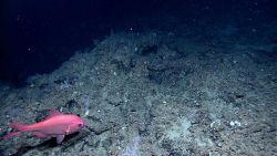 Deep sea fish - the splendid alfonsino (Beryx splendens) Photo