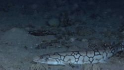 Deep sea fish - a catshark Photo