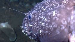 Deep sea fish - anglerfish, possibly Sladenia shaefersi Photo