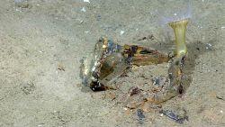 Marine debris - large white anemone growing on large can. Photo
