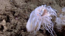 An anemone engulfing a hatchet fish captured by stinging cells on the anemone's tentacles Photo