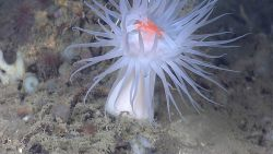 Large white anemone dominates seascape of smaller life forms Photo