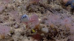 Small but deadly brownish red anemone is eating fish. Photo